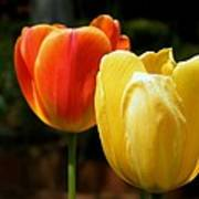 Pair Of Red And Yellow Tulips Poster