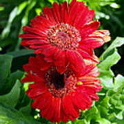 Pair Of Red Gerber Daisy Flowers With Ladybug Poster