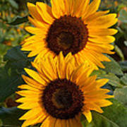Pair Of Sunflowers Poster
