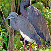 Pair Of Tricolored Heron At Nest Poster