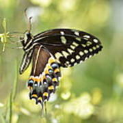 Palamedes Swallowtail 2 Poster