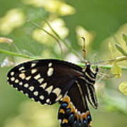 Palamedes Swallowtail Poster