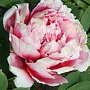 Pale And Dark Pink Peony Poster