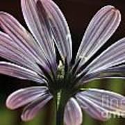 Pale Blue Flower Backlit Poster