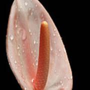 Pale Pink Anthurium Poster