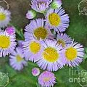 Pale Pink Fleabane Blooms With Decorations Poster