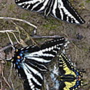 Pale Swallowtails And Western Tiger Swallowtail Butterflies Poster