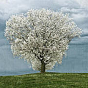 Pale White Tree On Cloudy Spring Day E83 Poster