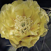 Pale Yellow Prickly Pear Bloom  Poster