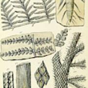 Paleozoic Flora, Calamites, Illustration Poster