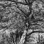 Palo Verde In Black And White Poster