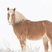 Palomino Horse In The Snow Poster
