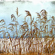 Pampas Grass Poster by Dianne  Lacourciere