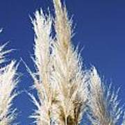 Pampas Grass Poster