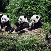 Pandas In China Poster
