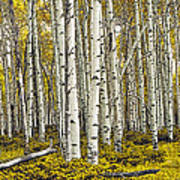 Panoramic Birch Tree Forest Poster