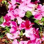 Pansies Garden Poster