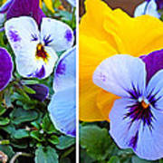 Pansies In Stereo Poster
