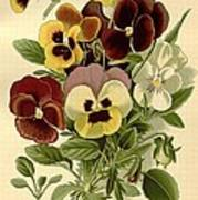Pansies Poster by Philip Ralley