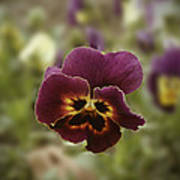 Pansy Beauty Photograph Poster