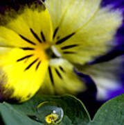 Pansy Close Up Poster