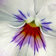 Pansy Flower 11 Poster