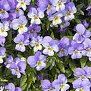 Pansy Flowers In Spring Background Poster