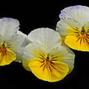 Pansy Trio Poster
