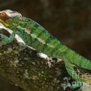 panther chameleon from Madagascar 5 Poster