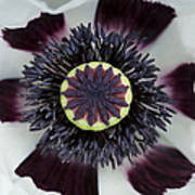 Papaver Orientale Perrys White Poster