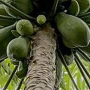 Papaya Tree Poster