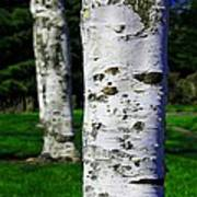 Paper Birch Trees Poster