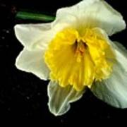 Paper White Daffodil Poster