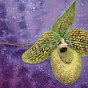 Paphiopedilum Malipoense Poster