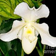 Paphiopedilum Orchid Poster