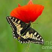 Papilio Machaon Butterfly Sitting On A Red Poppy Poster