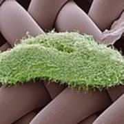 Paramecium Protozoan, Sem Poster