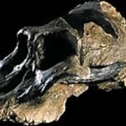 Paranthropus Aethiopicus (knm-wt 17000) Poster