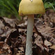 Parasol Mushroom Macrolepiota Sp Poster