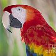 Parrot On Isla Tortuga-207 Poster