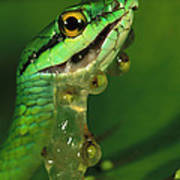 Parrot Snake Eating Frog Eggs Poster