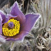 Pasque Flower Pulsatilla Halleri Poster