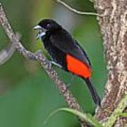 Passerini's Tanager Poster