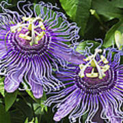 Passion Flowers Poster