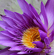 Passionate Purple Water Lily Poster