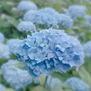 Pastel Blue Hydrangea Poster
