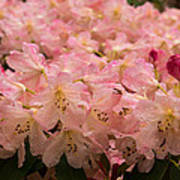 Pastel Coral Azaleas Refreshed By The Rains Poster