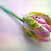 Pastel Parrot Tulip Poster