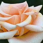 Pastel Peach Rose Poster
