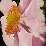 Pastel Pink Mallow Poster
